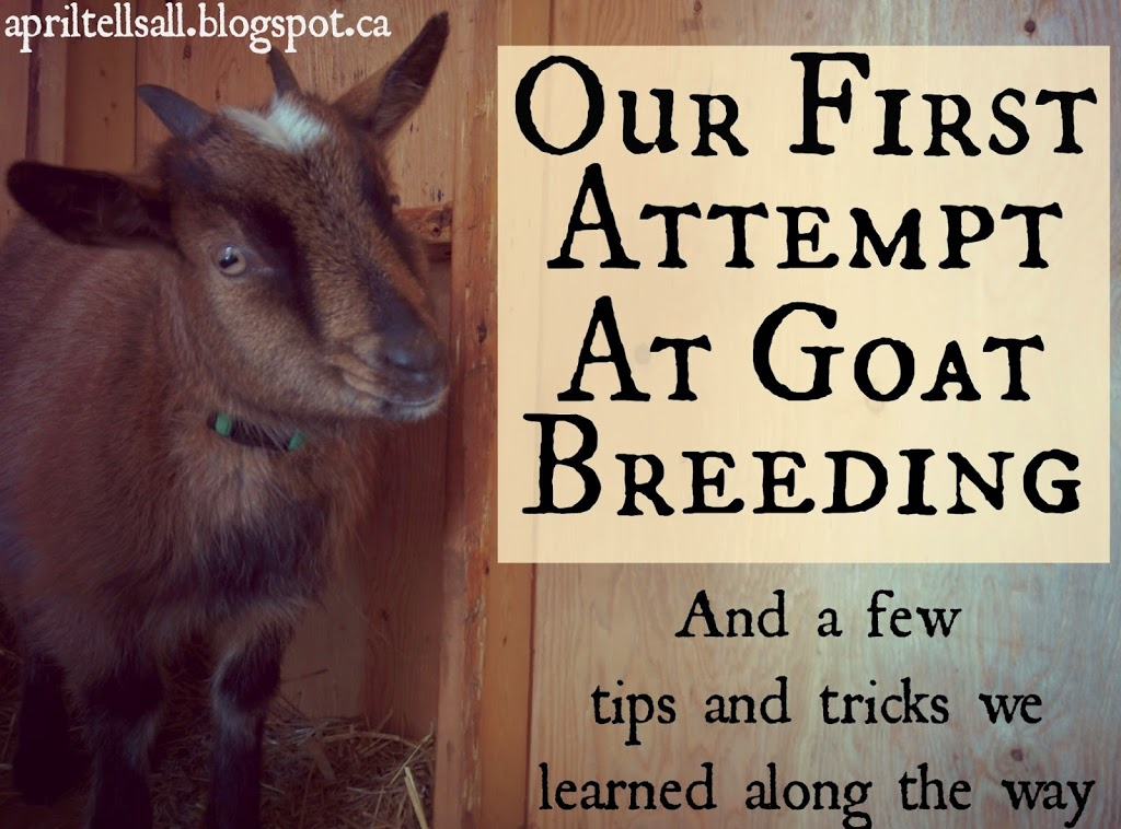 Our First Attempt at Goat Breeding