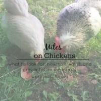 Mites on Chickens