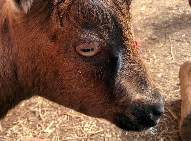 Phoebe the goat |April Tells All