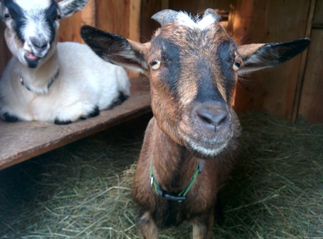 So you're thinking of getting a goat? Here is a simple guide to everything you'll need to know to get started with goats.