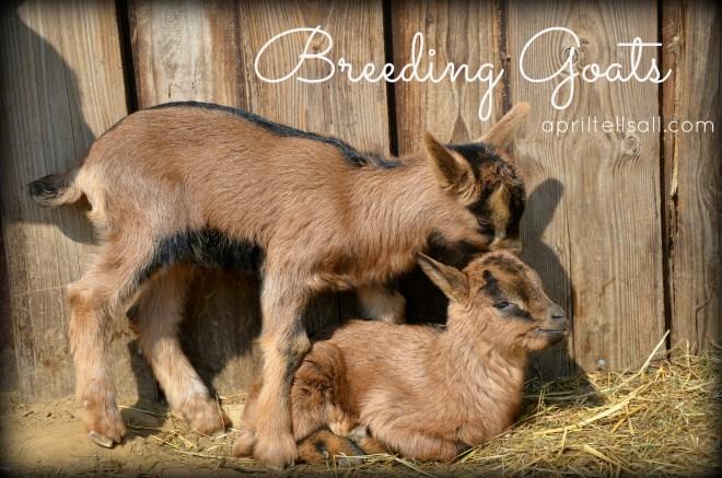 breedinggoats
