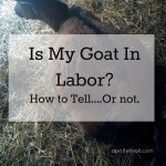 Is My Goat In Labor? {How To Tell…Or Not}