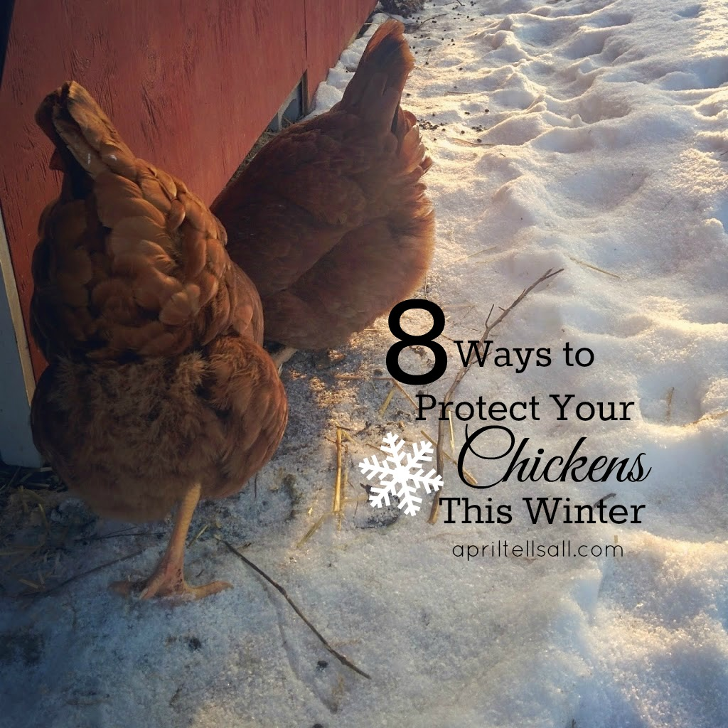 8 Ways to Protect Your Chickens This Winter