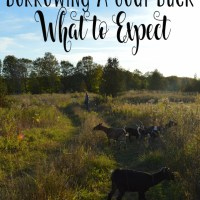 Borrowing a Goat Buck - What to Expect