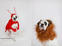 philadelphia pet photographer | walter, a boxer in costume ...
