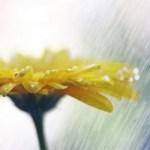flor chuva 2