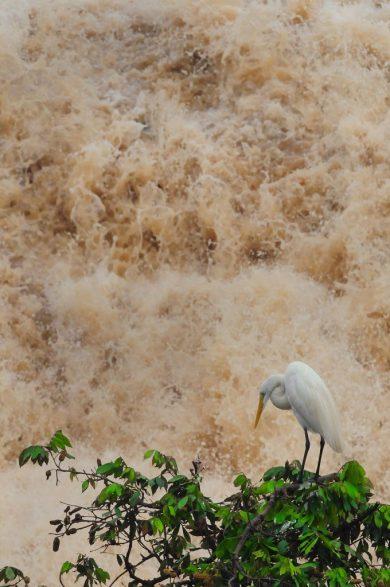 """Garça """"reverenciando"""" o Rio Piracicaba após as intensas chuvas de Janeiro - Foto Del Rodrigues"""