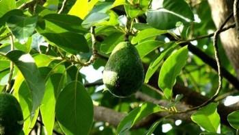 Ciclo de Palestras sobre Manejos e Implantação de Abacateiros