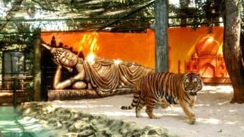 Zoo tem concurso para nome do tigre