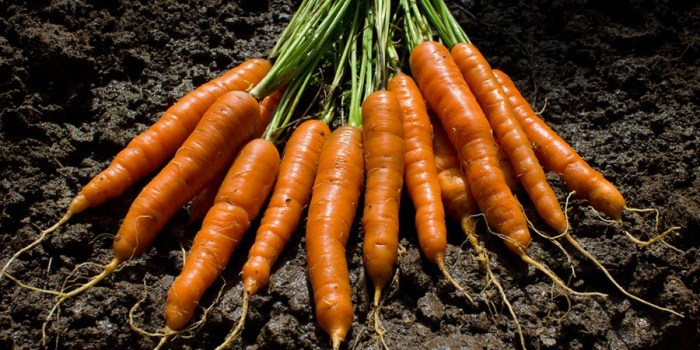 cenoura0001