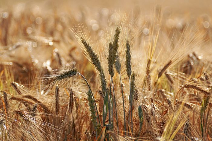 selective-focus-photography-of-wheat-field-1208973_Susanne-Pexels