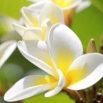 Plumeria – Cynthia da Rocha