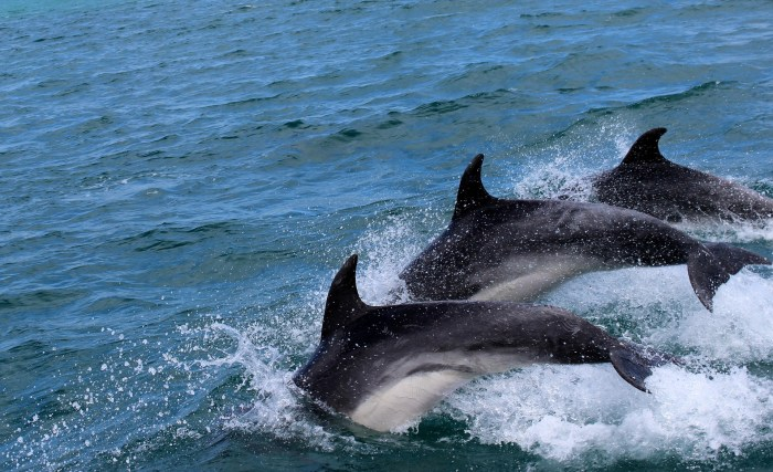 dolphins-2532975_1920