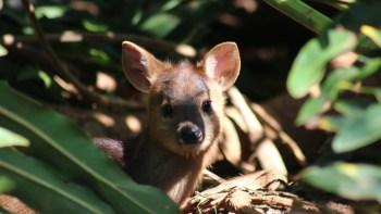 Zoo faz concurso para escolher nome de filhote de veado-catingueiro