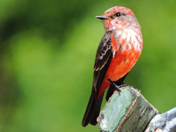 Pássaro da espécie Príncipe Pyrocephalus rubinus Foto – Maria Eliana Carvalho Navega Gonçalves