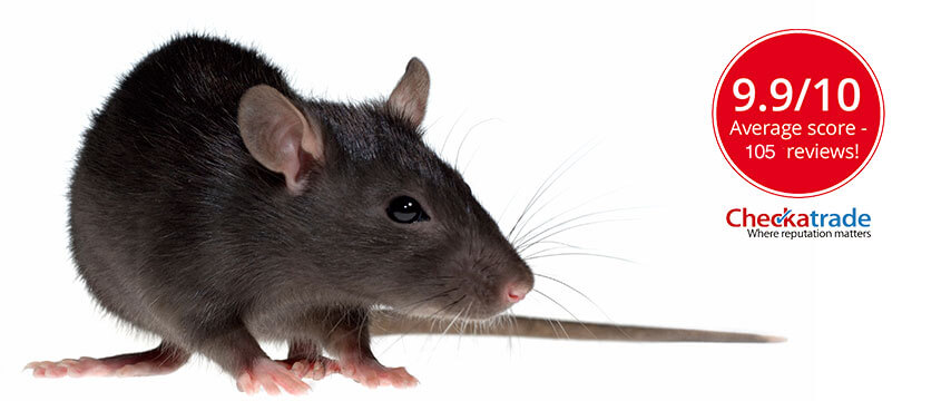 A lurking rat