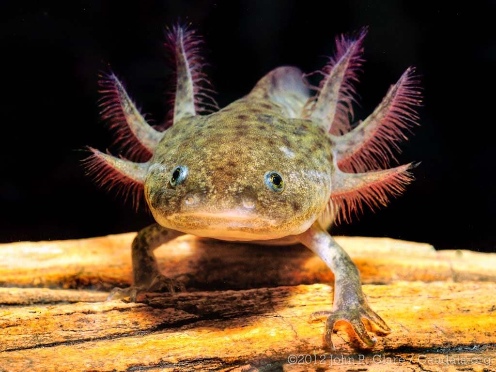 Cute Axolotl Wallpaper A Salamandra Axolote Ambystoma Mexicanum Aquaa3 Aquarismo