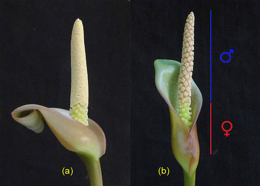 Inflorescence A. sp.  Gabon (synonym A. barteri): (a) the first day of flowering, (b) the third day (do not cover completely covers the female part of the ear)