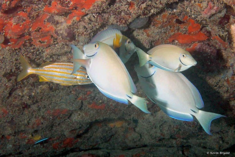 Ocean surgeon fish