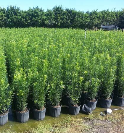 landscape hedges tampa florida