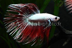 Betta splendens Crowntail Silver Red