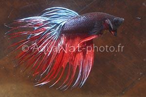 Betta splendens Crowntail