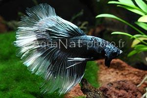 Betta splendens Halfmoon Black White tail