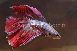 Betta splendens TwinTail