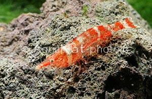Caridina serratirostris IMG_0228