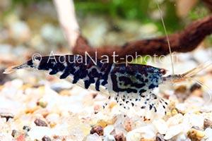 Caridina sp Tiger Black