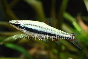 Nannostomus trifasciatus Brillant