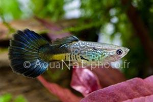 Poecilia reticulata Cobra Blue