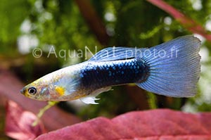 Poecilia reticulata Neon Blue
