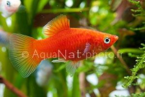 Xiphophorus maculatus Rouge