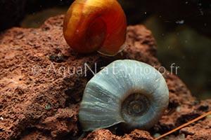 Planorbarius sp color
