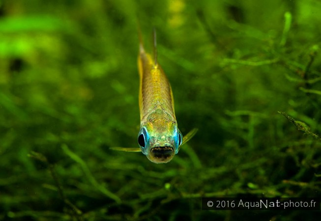 Portrait Phenaco aurantiacus