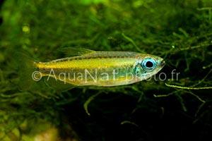 phenacogrammus_aurantiacus_male