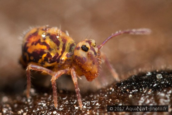 France Collembola / springtail