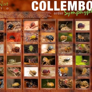 Poster Collemboles – Collection N°1 Format A1