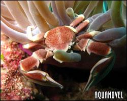 Neopetrolisthes maculatus – Cangrejo de porcelana punteado