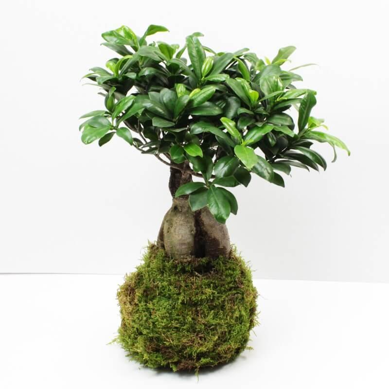 Kokedama Ficus XXL  Aquaplante