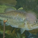 Largemouth Bass Fish Aquaponics