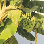 banana tree for aquaponics