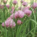 chives plant for aquaponics