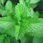 mint plant for aquaponics