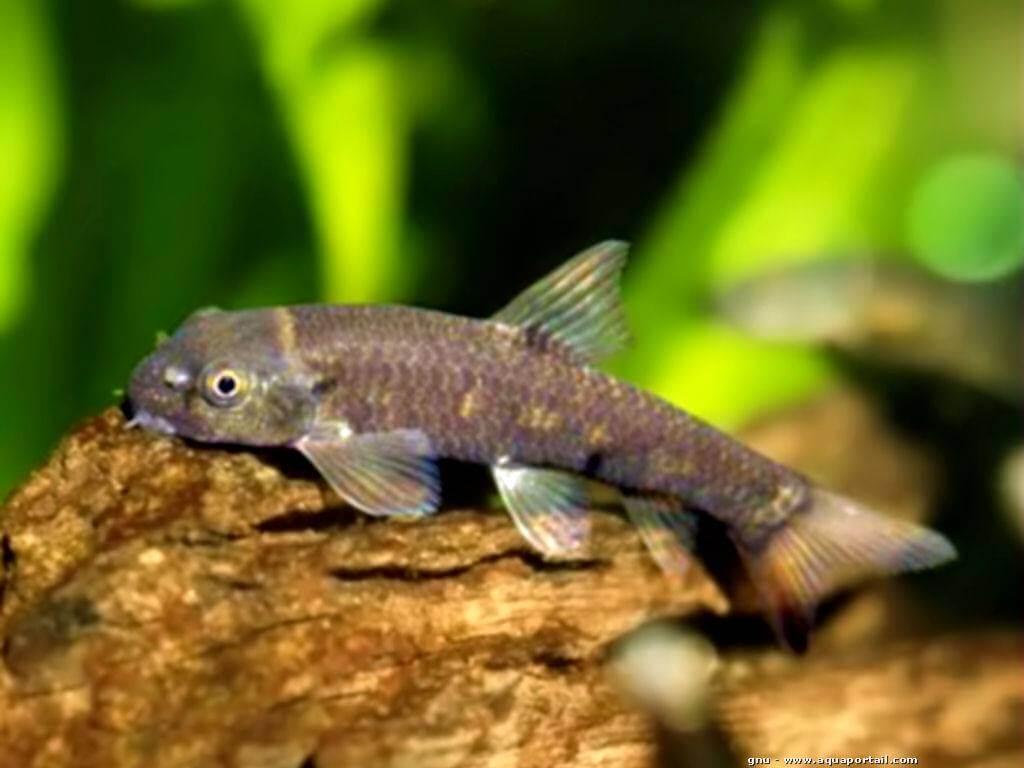 el pez garra rufa o pez dr club mundos acu ticos