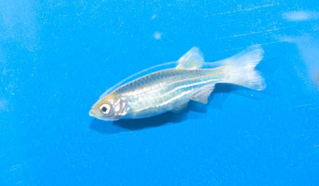white pimple on glofish