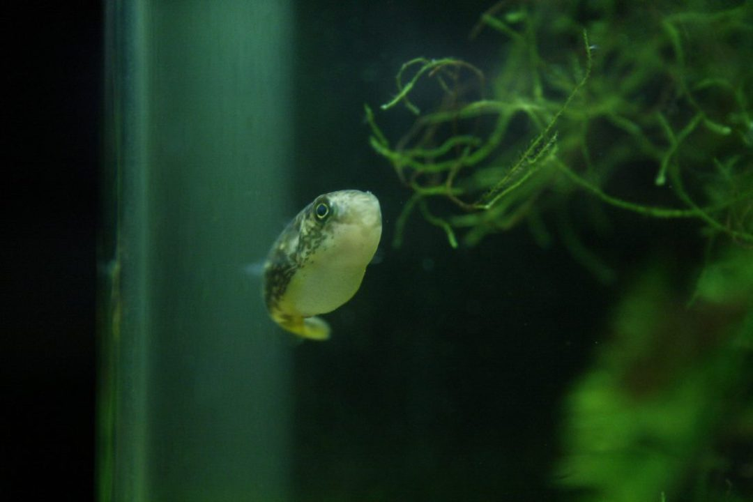 Caresheet dwarf puffer carinotetraodon travancoricus for Puffer fish aquarium