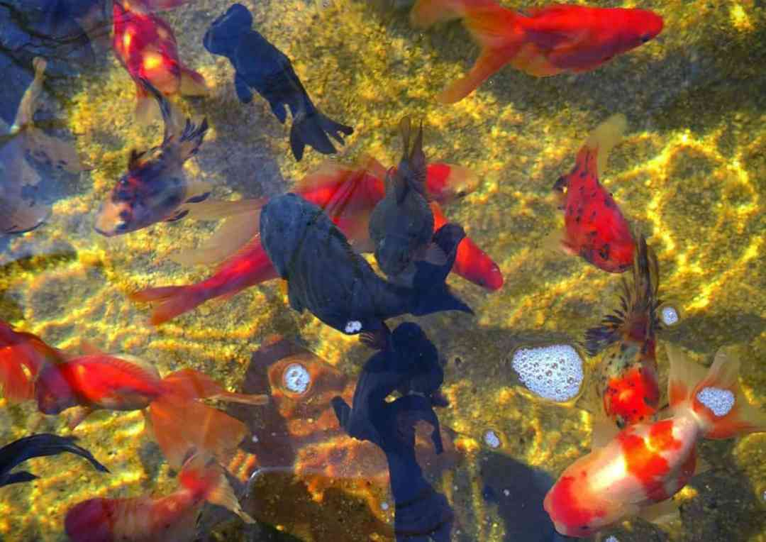 Keeping fancy goldfish in ponds aquariadise for Outside pond fish