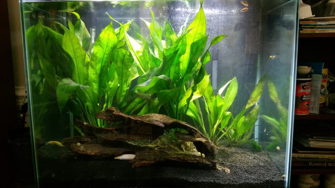 Floating Aquarium Plants Beginners